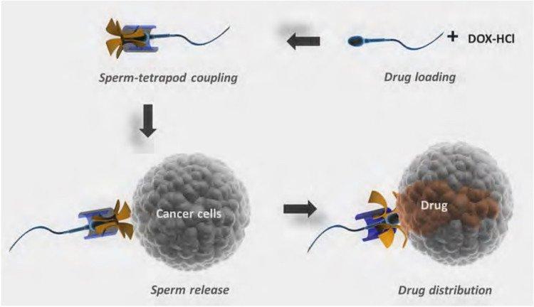 Dùng tinh trùng chuyển thuốc điều trị ung thư