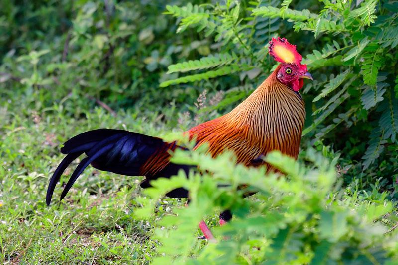 """Giống gà đặc hữu của Sri Lanka khiến các """"đại gia phát cuồng"""""""