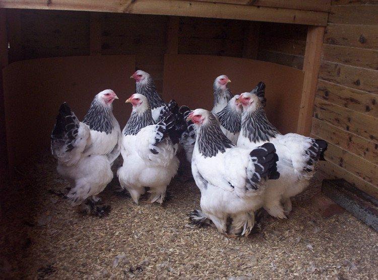 Giống gà khổng lồ nặng 20kg có gì đặc biệt?