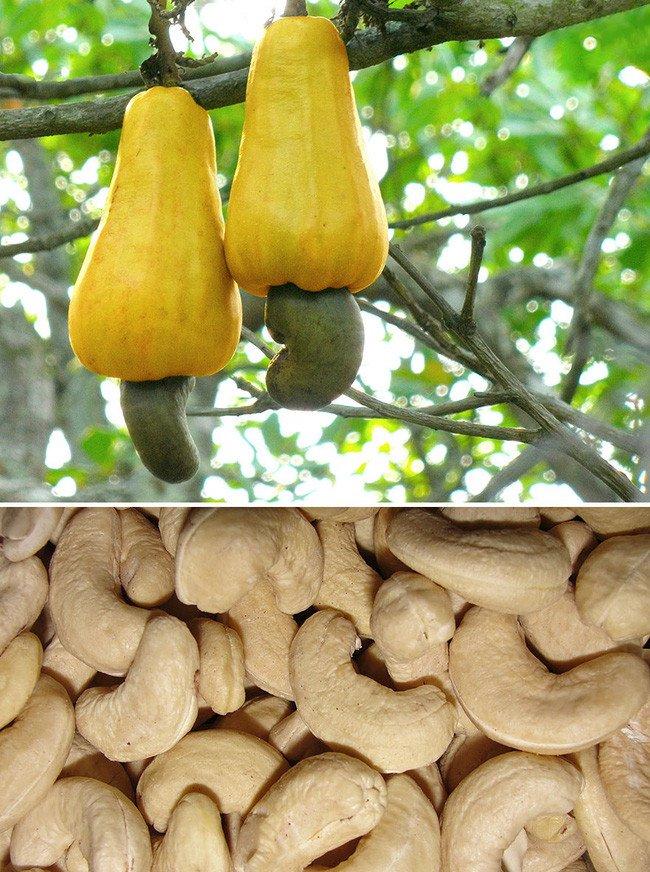 Hình dạng thật của các loại hạt, quả chúng ta ăn hàng ngày trước khi thu hoạch