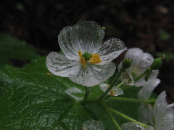Hoa trong suốt khi gặp mưa