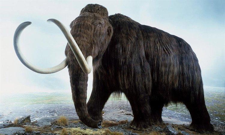 Hồi sinh voi ma mút đang trong tầm tay