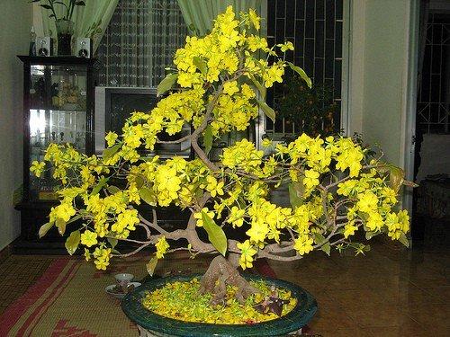 Hướng dẫn cách chăm sóc hoa mai sau Tết