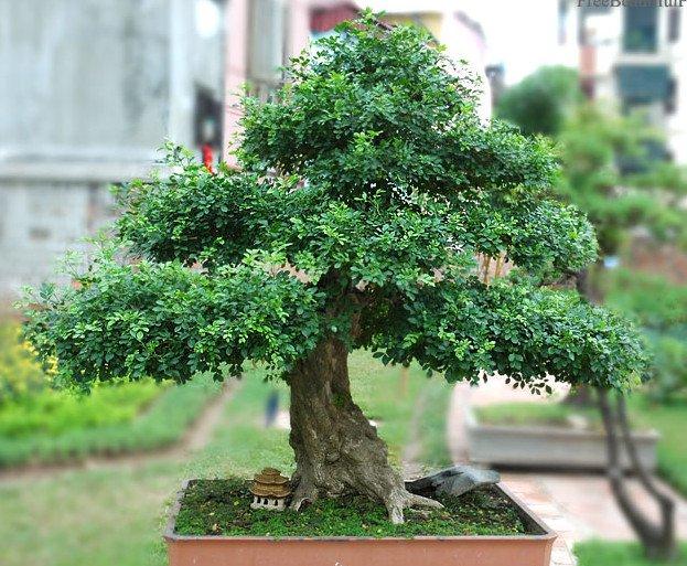Hướng dẫn trồng cây nguyệt quế bonsai đơn giản nhất
