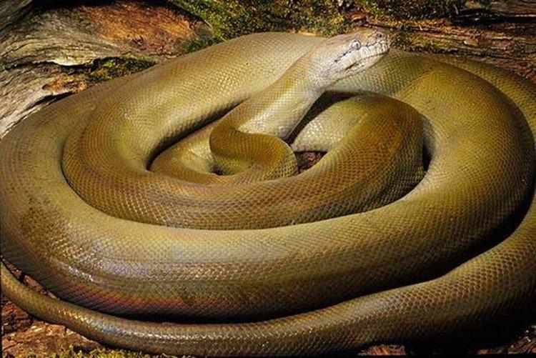 Khám phá loài trăn khổng lồ, đổi màu cơ thể khi bị kích động