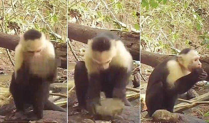 Khỉ dùng đá làm công cụ thành thục như người