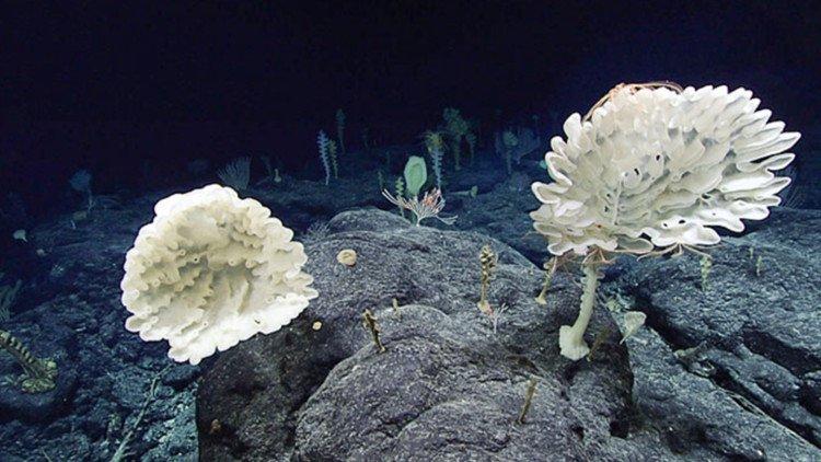 Khu rừng bọt biển ở độ sâu 2.000m dưới đáy biển Mỹ