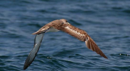 Khứu giác giúp chim định hướng khi bay trên biển