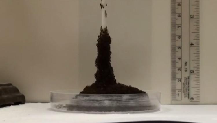 Kiến lửa kết thành tháp cao kiên cố vượt chướng ngại vật