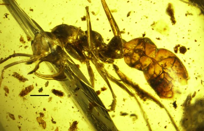 Kiến ma cà rồng 98 triệu năm chết cứng trong khối hổ phách