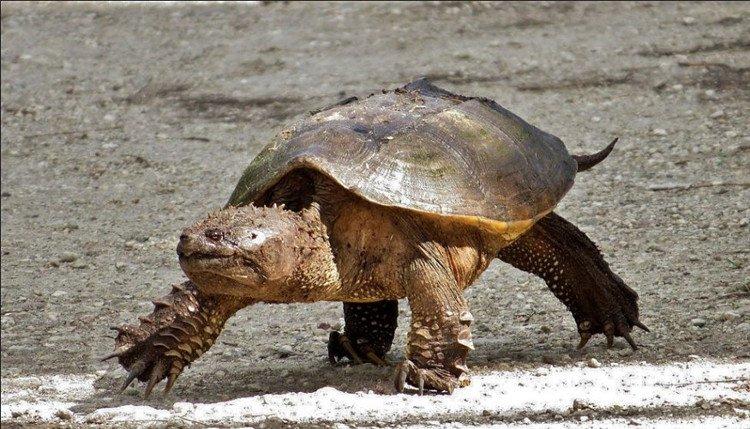Kỳ dị loài rùa bị đứt đầu vẫn sống nhăn răng...
