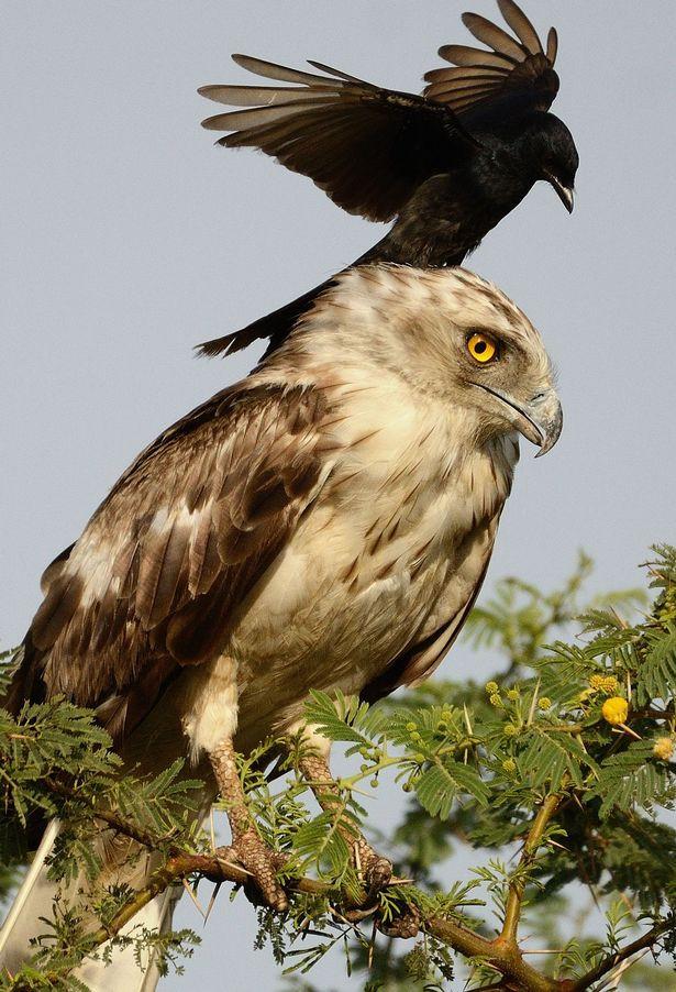 Kỳ lạ quạ đen đè đầu cưỡi cổ đại bàng