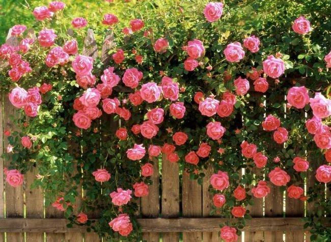 Kỹ thuật trồng hoa hồng leo đơn giản trong chậu