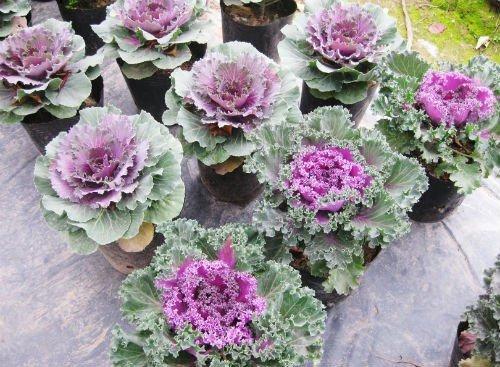 Kỹ thuật trồng và chăm sóc bắp cải cảnh đổi phong cách trang trí ngày Tết