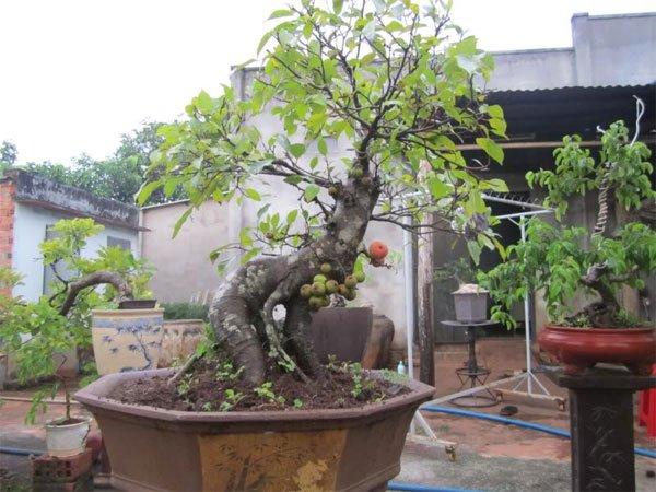 Kỹ thuật trồng và chăm sóc cây sung cảnh ra quả
