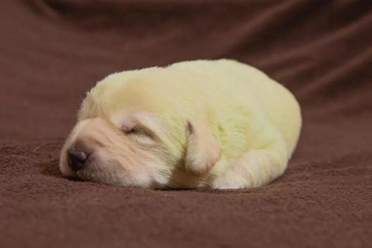 Lạ kì chú chó sinh ra có bộ lông màu xanh khó tin