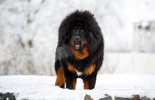 Là một trong những giống chó trung thành bậc nhất, tại sao ngao Tây Tạng vẫn cắn chủ?