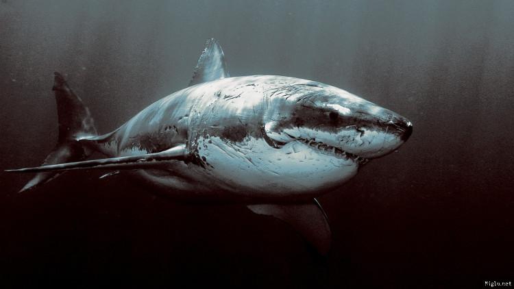 Lần đầu tiên trong lịch sử ghi lại được cảnh cá mập đang ngủ