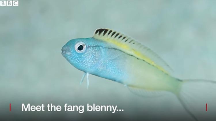 Loài cá có nọc độc giống heroin khiến kẻ thù ngất ngư