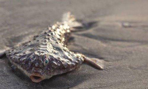 Loài cá ở độ sâu gần 400 mét dạt vào bờ biển Mỹ