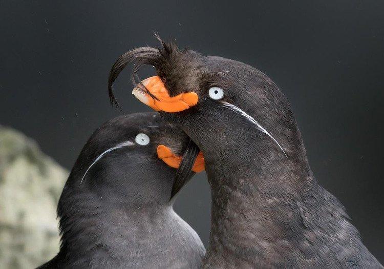 Loài chim có thể tự tạo ra mùi nước hoa riêng thơm nức mũi để hút bạn đời
