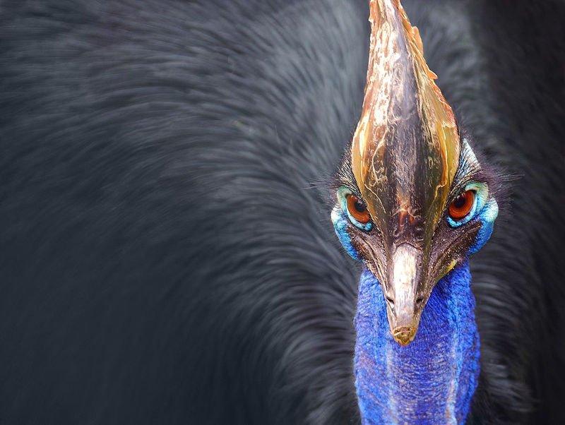 Loài chim nguy hiểm nhất thế giới được sách kỷ lục Guiness ghi nhận