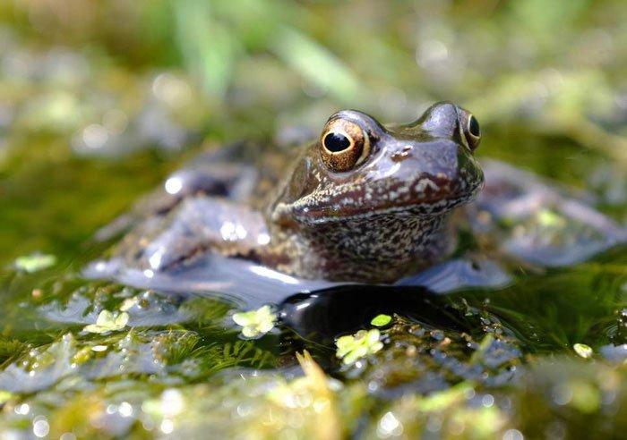 Loài ếch sẽ tuyệt chủng vì bị thuốc trừ sâu làm chuyển giới?