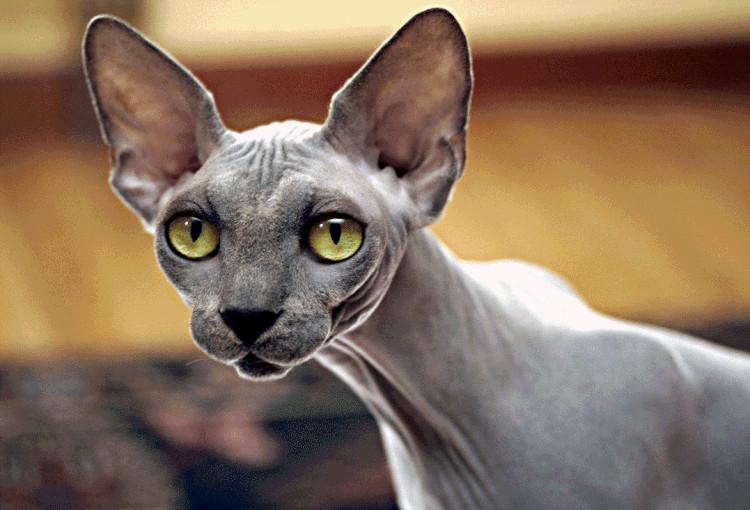 Loại mèo trụi lông có gì đặc biệt mà sở hữu mức giá cao nhất thế giới?