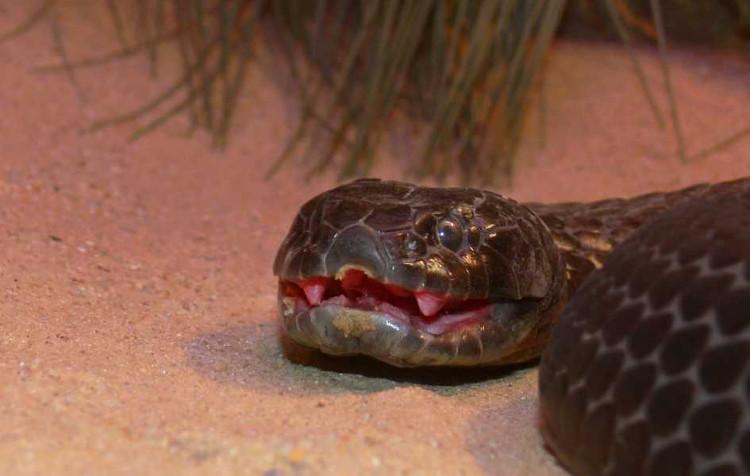 Loài rắn độc đến mức 10 triệu năm không cần tiến hóa