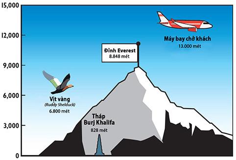 Loài vịt bay vượt dãy Himalaya để sinh sản