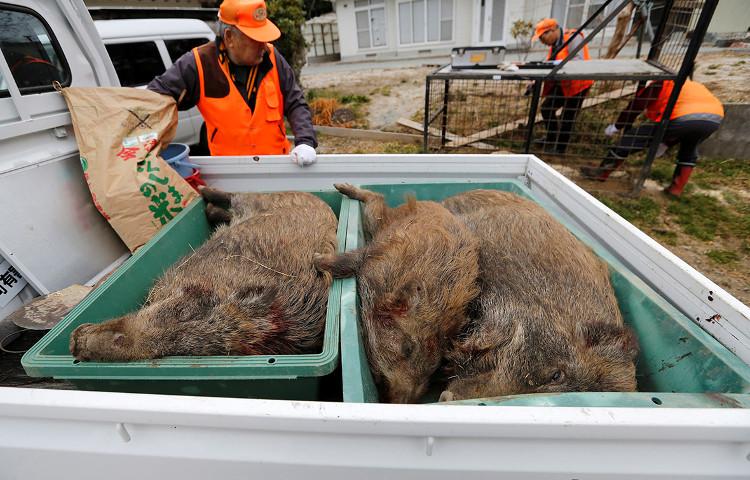 Lợn rừng nhiễm xạ tràn ngập đường phố Fukushima