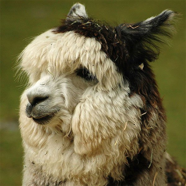 Lông lạc đà alpaca: Kháng cả lửa và nước, bền đến nỗi dùng để bện cầu treo