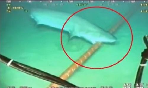 Lý do cá mập thích cắn cáp quang