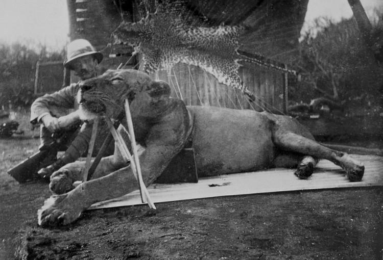 Lý do cặp sư tử Kenya ăn thịt hàng chục người