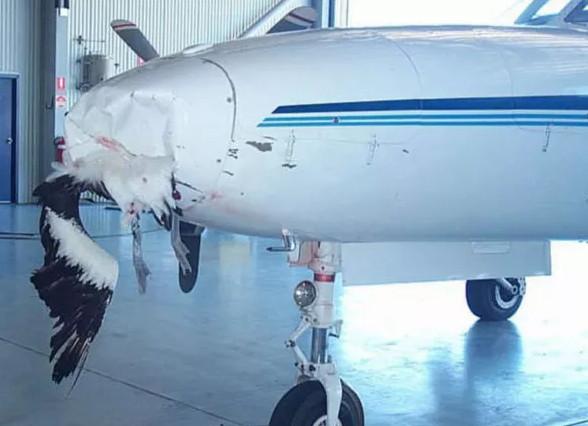 Lý giải khoa học cho trường hợp chim va chạm với máy bay gây thiệt hại nặng
