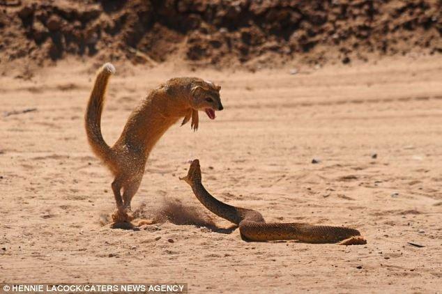 Mò vào hang săn con non, rắn hổ mang bị cầy mangut xé xác