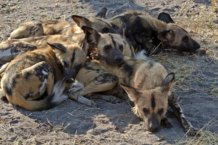Mỗi lần chó hoang Châu Phi muốn bỏ phiếu đi săn mồi, chúng sẽ hắt xì hơi?