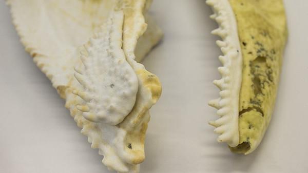 Mối liên hệ tiến hóa giữa một hóa thạch cá 400 triệu năm tuổi và loài người
