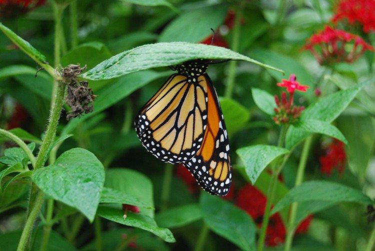 Mỏng manh như cánh bướm, số phận chúng sẽ ra sao khi cơn mưa tới?