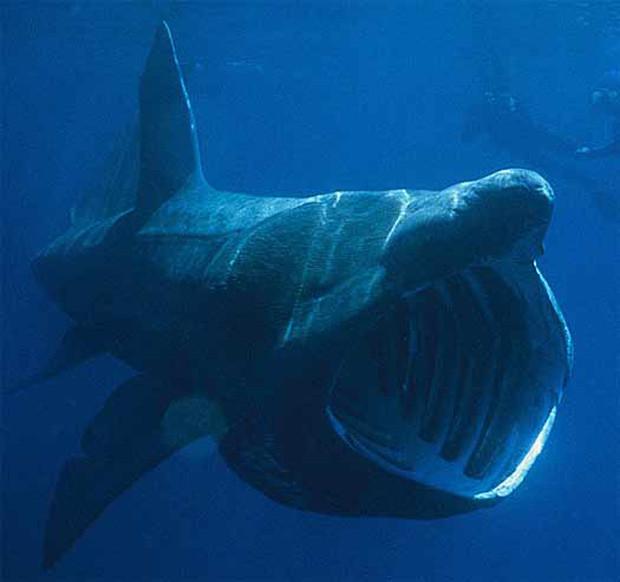 Một sinh vật hiếm vừa xuất hiện ngoài khơi biển Indonesia