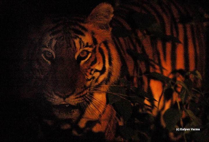Một số loài động vật đang phải kiếm ăn ban đêm chỉ vì tác động của con người