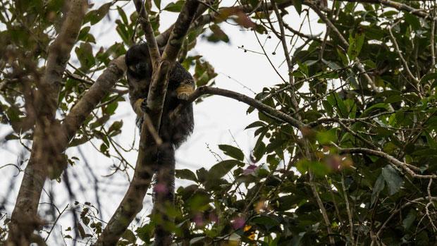 Một trong những loài vật bí ẩn nhất rừng Amazon lần đầu tiên được lên ảnh