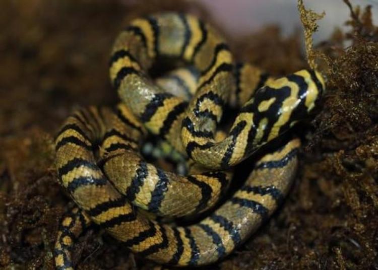Ngắm loài rắn viền ngọc trai hiếm và đẹp nhất thế giới