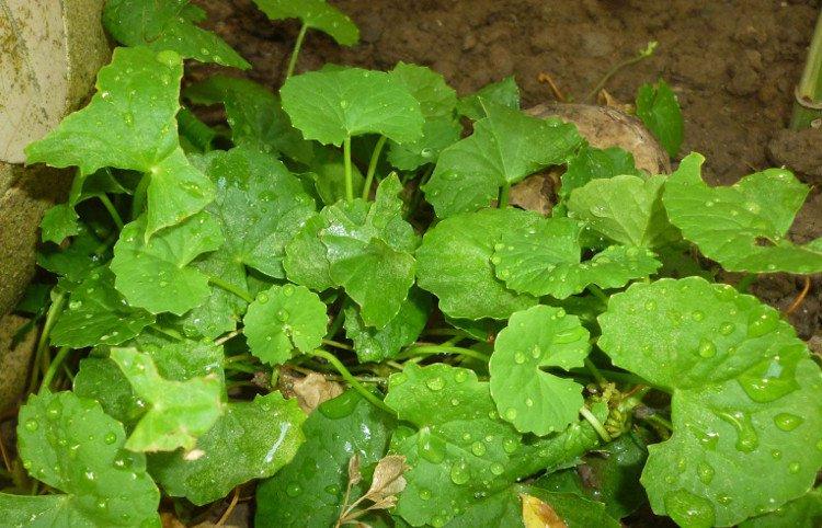 Nghiên cứu giải độc lá ngón bằng rau má