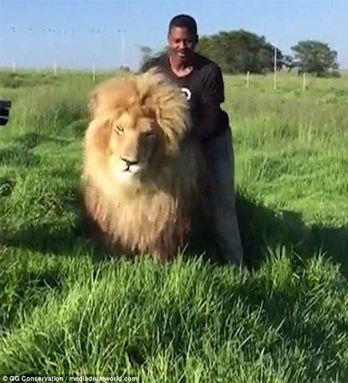 Người đàn ông thản nhiên gãi lưng sư tử đực như không