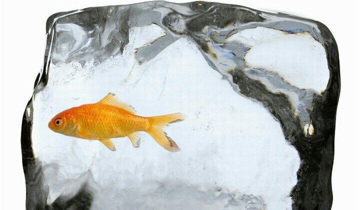 Nguyên nhân nước đóng băng không giết được cá vàng