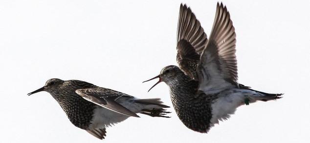 Nhận diện loài chim khốn khổ vì tình ái nhất thế giới