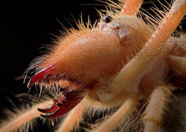 Nhện lông khổng lồ trên sa mạc