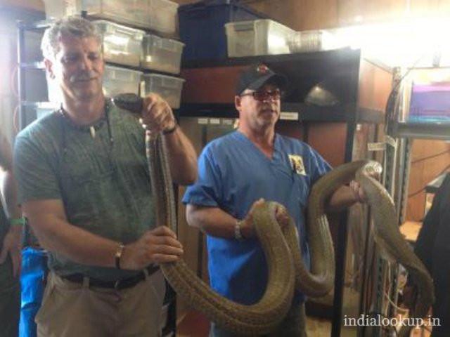 Những con rắn hổ mang chúa khủng nhất từng bị tóm gọn