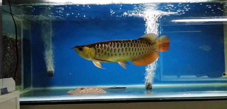 Những điều bạn chưa biết về loài cá rồng